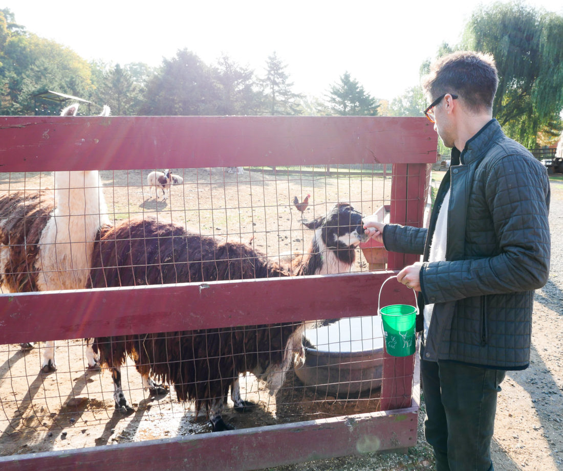 Kyle Martino feeding a llama at Silverman's farm in connecticut