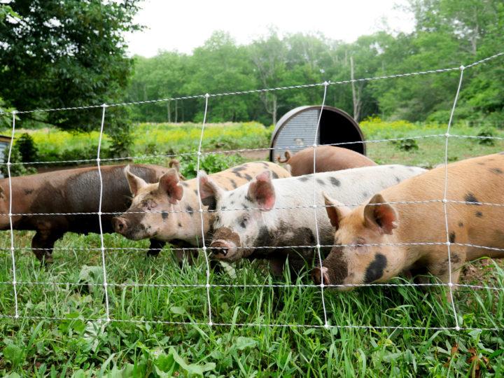 Pigs in Bar Harbor, ME.