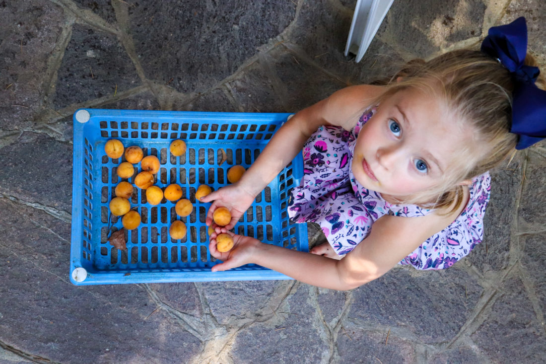 Marlowe Martino collecting small lemons in the Amalfi Coast